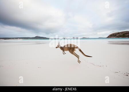 Canguro salto sulla spiaggia, Lucky Bay, Esperance, Australia occidentale, Australia Foto Stock