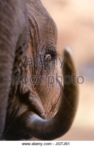 Close up ritratto di un elefante africano Loxodonta africana. Foto Stock