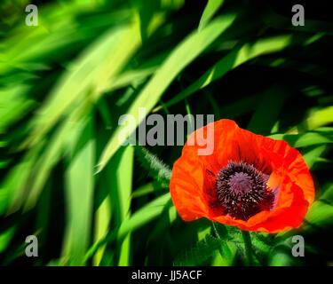 FLORA: papavero rosso Foto Stock