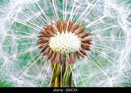 Tarassaco seme head. Abstract di tarassaco sfondo floreale, extreme closeup (macro) con soft focus, la bellissima Foto Stock