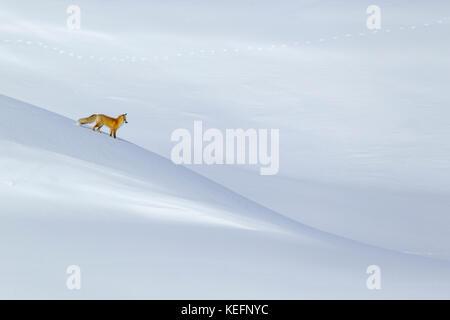 Red Fox (Vulpes vulpes fulva) caccia nella valle di Hayden durante l inverno Wyomings nel Parco Nazionale di Yellowstone Foto Stock