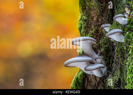 Funghi oyster / oyster staffa (fungo Pleurotus ostreatus) crescente sul tronco di albero nella foresta di autunno Foto Stock