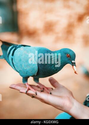 Alimentazione della colomba di mano. bellissimo uccello variopinto seduta sul lato femmina e mangiare. Foto Stock