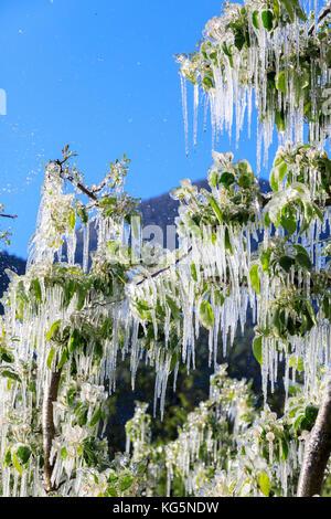 Blue sky sui frutteti di mele ricoperta di ghiaccio nella primavera villa di tirano provincia di Sondrio valtellina Foto Stock