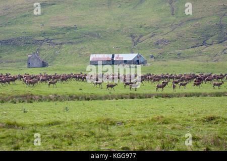 Cervi, Cervus elaphus, allevamento di maschi e femmine passeggiate sui pascoli. Findhorn Valley, Scotland, Regno Foto Stock