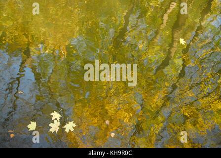 Abstract autunno: sulla superficie del galleggiante di acqua di colore giallo brillante foglie di acero su uno sfondo Foto Stock