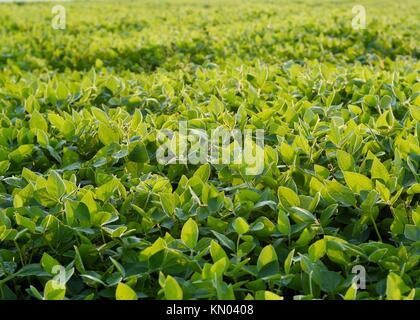 Un campo di una sana crescita media i semi di soia Foto Stock