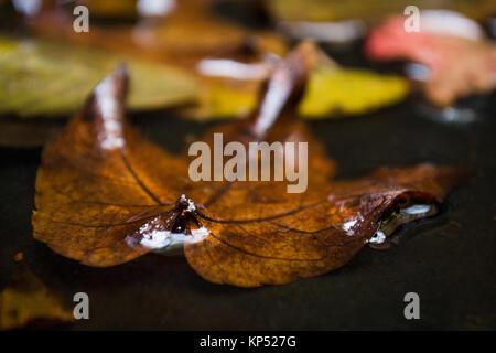 Maple Leaf in acqua floating autunno maple leaf Foto Stock
