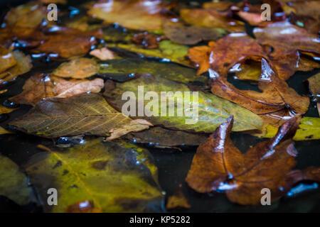 Maple Leafs in acqua, floating autunno Maple Leafs Foto Stock
