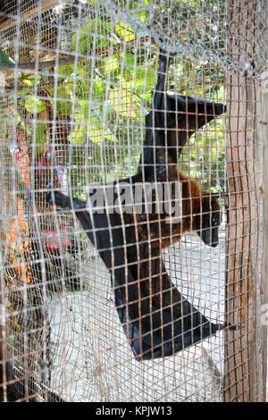 Seychelles frutto bat (Pteropus seychellensis), in gabbia, La Digue Island, Seychelles. Foto Stock