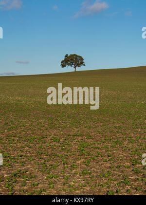 Un albero isolato seduto su casuale fattoria rurale campo di terra nel nord dell'area regionale del Sud Australia. Foto Stock