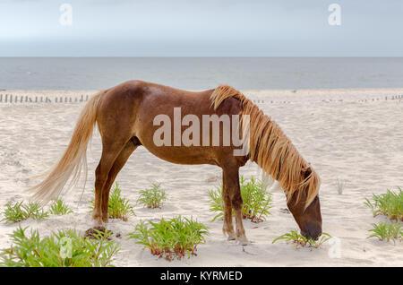 Un pony selvatici, cavallo, di Assateague Island, Maryland, Stati Uniti d'America sulla spiaggia. Questi animali Foto Stock