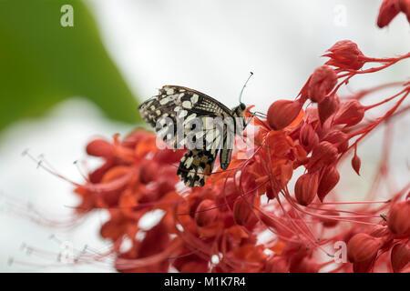 Lime a coda di rondine, Butterfly Papilio demoleus, Rose a coda di rondine Foto Stock