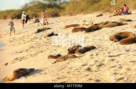 Galápagos leoni di mare (Zalophus wollebaeki) e turisti godere gli ultimi del pomeriggio di sole sulla spiaggia Foto Stock