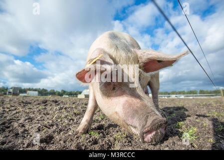 Maiale felice su di una azienda agricola biologica nel Regno Unito Foto Stock