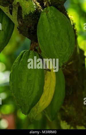 Il cacao Cialde sull'albero nel soleggiato sito rurale vicino a Ocho Rios, Giamaica, West Indies, dei Caraibi Foto Stock