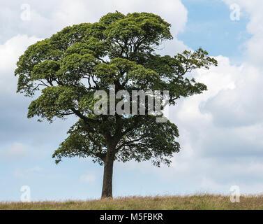 Un maturo lone tree sta eretta sulla cima di una collina. Derbyshire campagna England Regno Unito Foto Stock