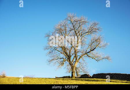 Un vecchio albero immerso nella luce del sole serale su una collina accanto a un secco muro di pietra nel Derbyshire Foto Stock