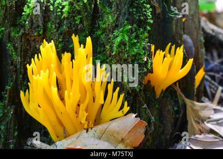 Calocera viscosa o giallo Stagshorn funghi in habitat naturale, sul suolo forestale e di marcio moncone, vista ravvicinata Foto Stock