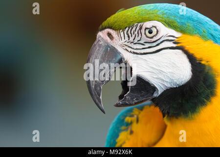Colpo alla testa di un macaw Foto Stock
