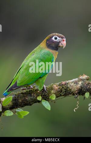 Marrone-incappucciati Parrot - Pyrilia haematotis, bellissima pappagallo colorato dall America Centrale forest Costa Rica. Foto Stock