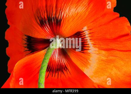 Close-up di lucido petali di rosso papavero (Papaver somniferum) contro uno sfondo nero. Foto Stock