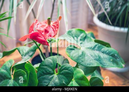 Fiore rosso anthurium Foto Stock
