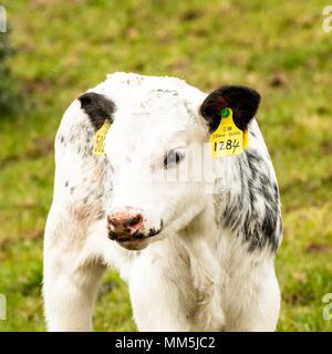 Vitello in un campo guardando la telecamera, bianco con contrassegno nero, etichettate nell'orecchio, aloan di vitello in foto, erba verde campo. Foto Stock
