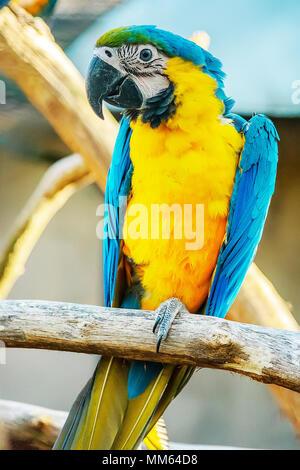 Intelligente e socievole, il blu e oro Macaw cresce per essere abbastanza grande, la misura quasi tre metri di distanza dal becco alla punta della coda. Foto Stock