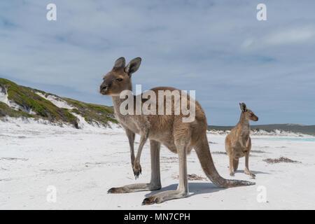 Canguri sulla bianca spiaggia di Lucky Bay, Cape Le Grand National Park, Australia occidentale Foto Stock