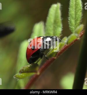 7 Spot coccinella. Foto Stock