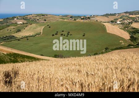Vista di oliveti sulle colline d'Abruzzo. Italia Foto Stock