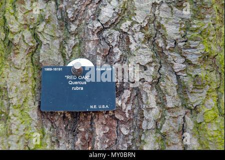 London, Regno Unito - Aprile 2018: grande quercia rossa o o champion quercia (Quercus rubra), albero nativo del Nord America, crescendo a Kew Gardens Foto Stock