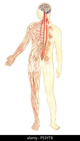 Il sistema nervoso umano, disegnato a mano Illustrazione medica, matite di colore disegno con imitazione litografia Foto Stock