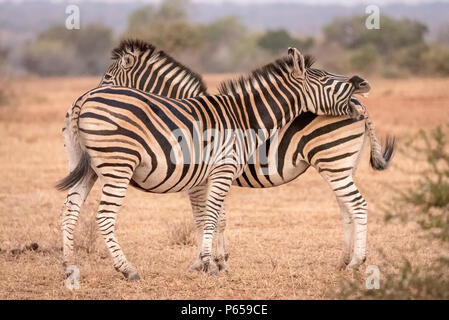 Coppia di zebra al testa coda Foto Stock