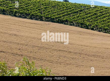 Vista dei campi di grano e vigneti sulle colline d'Abruzzo. Italia Foto Stock
