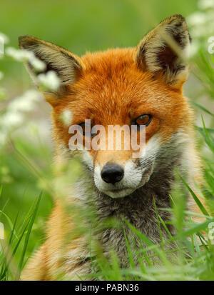Close up ritratto di un bellissimo adulto inglesi Red Fox (Vulpes vulpes vulpes) guardando dritto in avanti Foto Stock