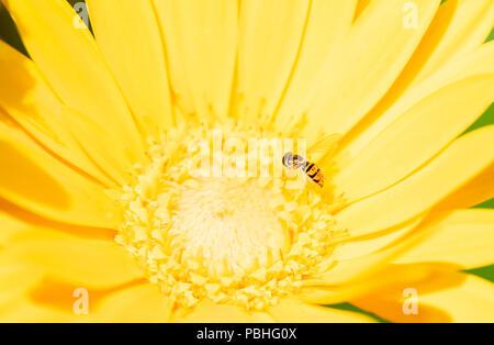 Macro di un Hoverfly (Toxomerus marginatus) raccogliendo il polline su un luminoso giallo fiore Foto Stock