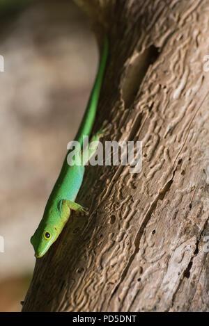 Close up di lucertola verde sulla corteccia di albero con legno wom patterns, isola di La Digue, Seicelle Foto Stock