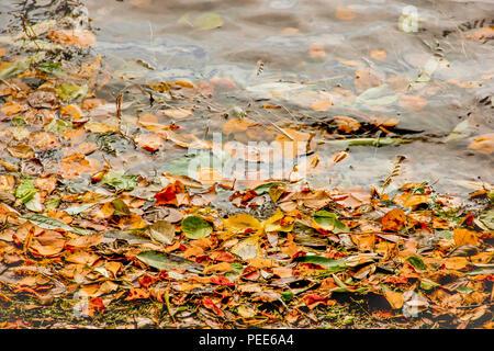 Il giallo, il verde e il rosso albero Foglie di autunno, composizione del telaio sul fondo di acqua. Grande stagione texture con caduta dell'umore. Natura ottobre background.vari morti le foglie in autunno i colori che galleggia sulla superficie dell'acqua Foto Stock