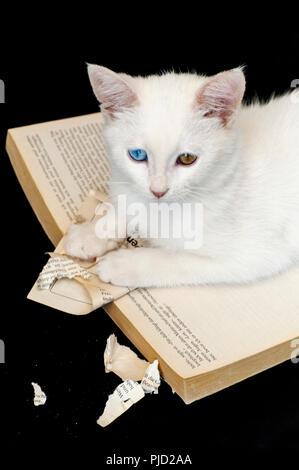 Un bel bianco odd eyed gattino il ripping di un libro contro uno sfondo nero Foto Stock