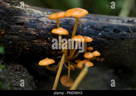 Arancione piccoli funghi crescono fuori di legno sul suolo della foresta. Corpi fruttiferi di funghi delicati. Vista macro di piccoli funghi toadstool. Foto Stock