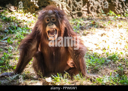 Giovani Bornean orangutan (Pongo pygmaeus) presso lo Zoo di Atlanta vicino a downtown Atlanta, Georgia. (USA) Foto Stock
