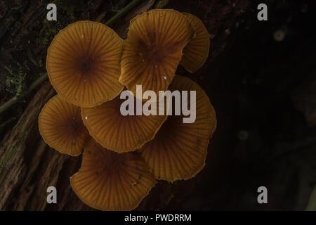 Un cluster di arancio funghi dalla pianura giungla amazzonica nel Madre de Dios Dipartimento del Perù. Foto Stock
