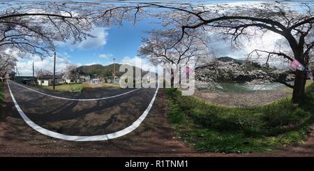 Fila di alberi di ciliegio Foto Stock