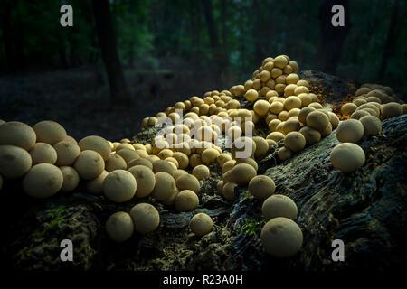 Molti funghi che crescono su Log In foresta, Pennsylvania, STATI UNITI D'AMERICA Foto Stock
