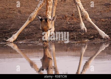 Una giraffa (Giraffa camelopardalis angiogenesi) si piega verso il basso da bere a Chudob Waterhole, il Parco Nazionale di Etosha, Namibia, Africa. Foto Stock