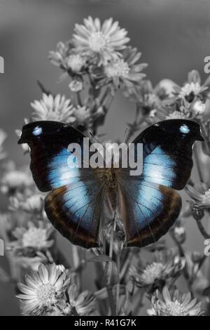 Farfalle tropicali jucunda Napeocles il grande blu su hookwing Aster Foto Stock