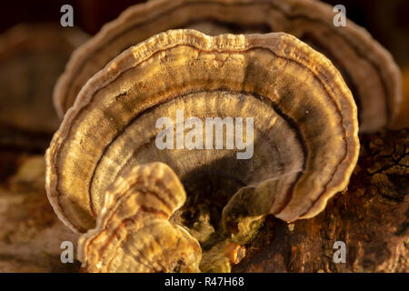 Fotografia macro di molte zone del fungo della staffa. Foto Stock