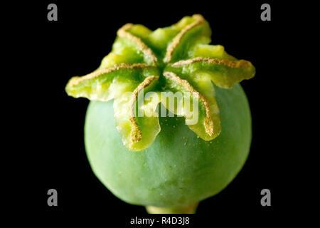 Papavero (Papaver somniferum), una chiusura ancora la vita del seme verde pod o semi di testa prima che matura, colpo contro uno sfondo nero. Foto Stock